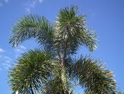 Nochmals die herrlichen stacheligen Palmen