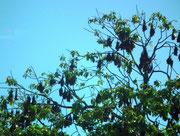 Tausende von Fledermäusen hängen sich an die Bäume