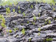 Erkaltete Lava bietet einen guten Nährboden für neues Grün . . .