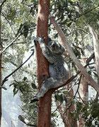 Der erste Koala, einfach drollig
