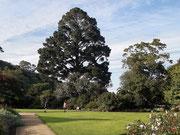 Mächtiger Baum. Man beachte den Größenvergleich mit den Besuchern