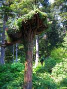 Abgestorbene Bäume werden kopfüber eingepflanzt . . .