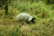 Die freilebenden weltberühmten Galapagos-Schildkröten...