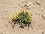 Heisser, trockener Sand; und trotzdem blüht ein Pflänzchen