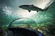 Im Glastunnel unter dem Aquarium geniesst man einen schönen Blick auf Haie . . .