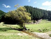 Dieser Baum hat den immer wiederkehrenden Winden nachgegeben