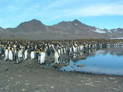 Hunderttausende von Königspinguinen kommen zum Süsswasser