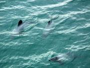 Hier nochmals eine kleine GRuppe von den überaus quirligen «Hector Dolphins»