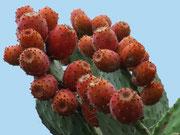 mit wunderschön leuchtenden roten Blüten