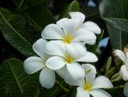 Prächtiges Weiss und kräftige Blütenblätter