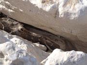Versteinerte Holz-Ungeheuer zwischen den Felsen eingeklemmt