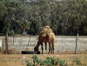 Ein australisches Kamel, bzw. richtigerweise Dromedar sucht nach Futter