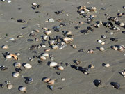 Muscheln in reicher Vielfalt am Strand angespült, und abends auf dem Teller
