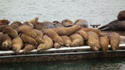 Der Nachmittagsschlaf der Sea Lions