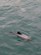 Ein erstes Exemplare der Hector-Delfine