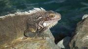 Wunderschöne Leguane weisen uns den Weg zurück zum Schiff