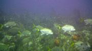 Sogar «Silberfische» finden es schön in dieser Tiefe