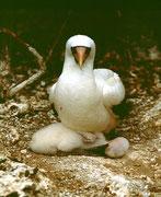 Fregattvogel brütet