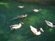 Tolle Grüntöne an den Köpfen und im Wasser