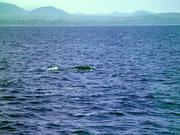 Kurzes Auftauchen eines Humpback-Whale. Buckelwale sind gut erkennbar an der kleinen Rückenflosse