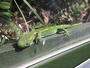 Aber dieser «grüne «Kollege» ließ sich gerne fotografieren