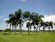 Auf offener Wiese herrliche Palmen