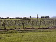 Die ersten Weinreben kilometerweit