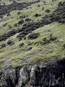 an den steilen Bergwiesen vereinzelte Schafe . . .