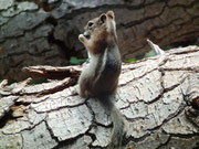Das amerikanische Eichhörnchen