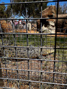 Das über 4 Meter lange Krokodil hinter massiven Gittern ist nicht zum Anfassen geeignet