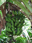 """Bananen (Für alle die es noch nicht wussten, Bananen wachsen """"aufwärts"""")"""