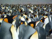 King Penguins so weiht das Auge reicht . . .