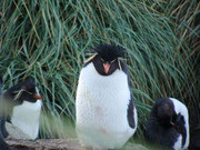 Die lustigen Cliff hopper Penguine