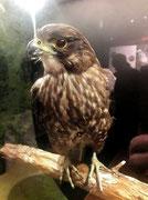 Hinter Glas aber wunderschöner Vogel