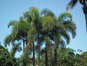 Nochmals die etwas anderen Palmen, als wir sie kennen