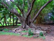 Bäume anders als wir sie gewohnt sind