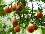. . . bis knalligfrischen Orangen wird das Auge erfreut