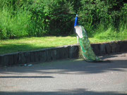 Ein Pfau verirrte sich auf der Strasse