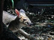 Ein kleineres Känguru einer anderen Gattung, mit den kleineren Ohren