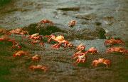 Auch die knallbunten, Suppenteller-grossen Krabben machen einen Landgang...