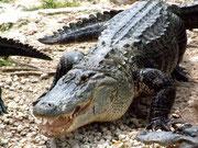 Florida-Alligator in seiner ganzen Pracht
