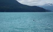 Ein erster Buckelwal zeigt, dass es in der Gegend welche gibt