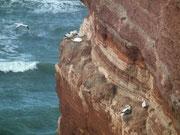 Eine Vielzahl von Vogelarten sucht in den Lummenfelsen Schutz vor dem Wind