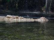 Das australische Süsswasser-Krokodil