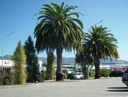 Mächtige Palmen säumen die Hauptstrasse