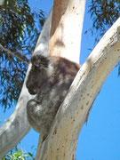 Auf der Fahrt «bergabwärts» vom Mount Lofty erhaschen wir noch einige Koalas . . .