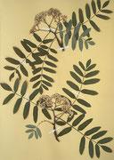 Vogelbeere, Eberesche (Sorbus aucuparia, Herbar-Beleg)