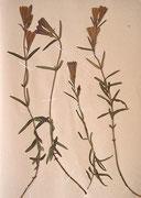 Lungen-Enzian (Gentiana pneumonanthe, Herbar-Beleg 1908)