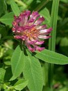 Mittlerer Klee (Trifolium medium)