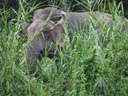 Pygmäen-Elefant Borneo